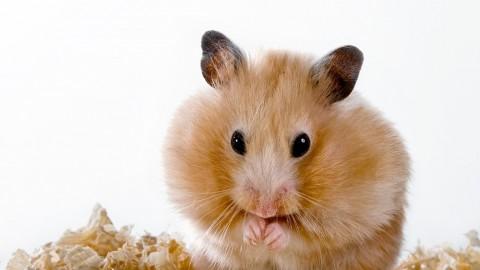 Tiny Hamster Eating Tiny Pizza
