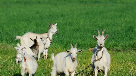 Goat Stampede