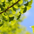 Can Ginkgo Trees Help Us Live Longer And Healthier Too?